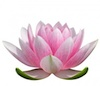 Lotus-Flower-100
